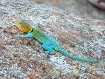 Curious Collard Lizard Stock Images