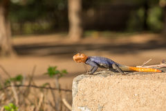 Curious colorful lizard sitting on stone, Windhoek stock image