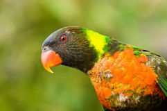 Curious and colorful (Trichoglossus haematodus) Stock Images
