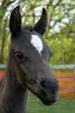 Curious Colt. With his ears up Stock Images