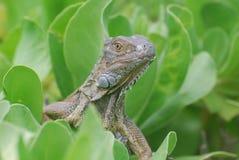 Curious Common Iguana in a Shrub Stock Photo