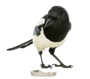 Curious Common Magpie looking at the camera with jewellery Royalty Free Stock Photography