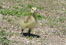 Curious and confident newborn Canada goose gosling Stock Photography