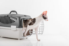 Curious Cornish Rex Cat Going out of the Box on the White table with Reflection. White Wall Background. Royalty Free Stock Photos