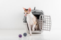 Curious Cornish Rex Cat Going out of the box on the White table with Reflection. White Wall Background. Little Balls as toy in bac Stock Image
