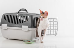 Curious Cornish Rex Cat going out of the box on the White table with Reflection. White Wall Background. Plate of food in Backgroun Royalty Free Stock Photo