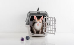 Curious Cornish Rex Cat Looking out of the box on the White table with Reflection. White Wall Background. Little Balls as toy in b Royalty Free Stock Photos