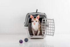 Curious Cornish Rex Cat Looking out of the box on the White table with Reflection. White Wall Background. Little Balls as toy in b Stock Images