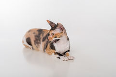 Curious Cornish Rex Cat Lying on the White Desk. White Background. Open Mouth. Looking Left. Stock Image