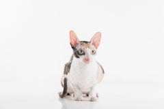 Curious Cornish Rex Cat Lying on the White Table. White Wall Background. Long Tail. Reflection. Looking Right. Royalty Free Stock Images