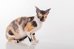 Curious Cornish Rex Cat Sitting on the White Desk. White Background. Lookig Straight Left. Curious Cornish Rex Cat Sitting on the White Desk. White Background Royalty Free Stock Images