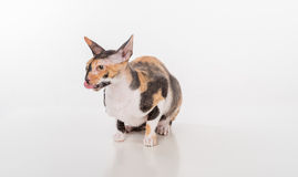 Curious Cornish Rex Cat Sitting on the White Desk. White Background. Looking Right. Open Mouth, Tongue Out. Royalty Free Stock Photos