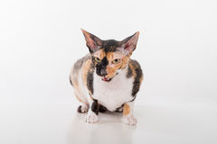 Curious Cornish Rex Cat Sitting on the White Desk. White Background. Portrait. Open Mouth. Stock Photos
