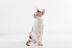 Curious Cornish Rex Cat Sitting on the White Table. White Wall Background. Long Tail. Reflection. Looking Right. Royalty Free Stock Image