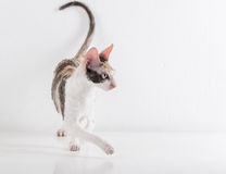 Curious Cornish Rex Cat Stand on the White Table. White Wall Background. Royalty Free Stock Photos