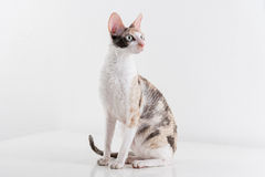 Curious Cornish Rex Cat Stand on the White Table. White Wall Background. Long Tail. Reflection. Looking Right. Royalty Free Stock Image
