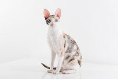 Curious Cornish Rex Cat Stand on the White Table. White Wall Background. Long Tail. Reflection. Looking Straight.  Stock Photo