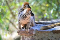 Curious couple of lemurs. Couple of lemurs, sitting on a rock and looking in one direction royalty free stock photos