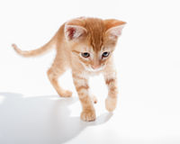 Curious and courageous Tabby kitten. Adorable baby cat exploring his surroundings Royalty Free Stock Photos