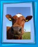 Curious cow. Cow looking through a fram - 3D look Royalty Free Stock Photography