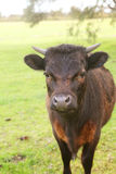 Curious Cow Royalty Free Stock Images