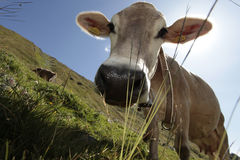 A curious cow. Close up of a curious cow in a pasture in summer alpine Stock Photos
