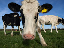 A Curious Cow. A fresian heifer taking a closer look Stock Photos
