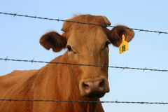 Curious Cow. Red beef cow with numbered tag in ear at barbwire fence, head cocked, curious, blue sky in background Royalty Free Stock Photo