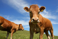 Curious Cow. Wide-angle close-up of Jersey dairy cow Royalty Free Stock Photography