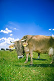 Curious cow. On the pasture royalty free stock photo