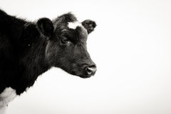Curious cow. This cow is watching you Stock Photography