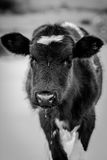 Curious cow. This cow is watching you Royalty Free Stock Images