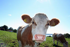Curious Cow. A curious cow coming real close to the camera. Picture taken near Lake Starnberger See in Bavaria stock image