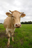Curious cow Royalty Free Stock Photo