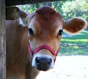 Curious cow. A cow peeking through a fence Royalty Free Stock Images