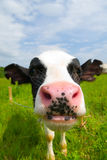 Curious cow Stock Image