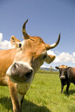 Curious Cow. A curious and sweet cow with her friend behind. Mendocino County, California Stock Images