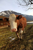 Curious cow on Alps farm Stock Images