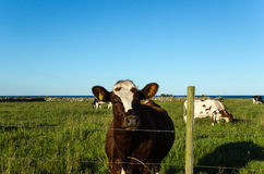 Curious cow behind a fence. Curious looking cow behind a fence of barb wire in a green pasture land Stock Photos