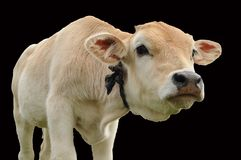 Curious cow calf Stock Images