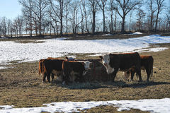 Curious Cow. S stare at camera while feeding in winter with snow on the ground stock photos