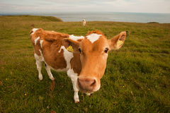 The curious cow. S who look in a lens Royalty Free Stock Photo