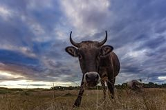 Curious Cow stock photography