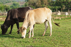Curious cow eating grass at the field. Royalty Free Stock Photography