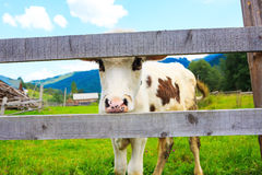 Curious cow face Stock Photography