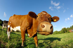 Curious cow on a field Royalty Free Stock Photos