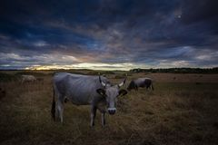 Cow on a field at sunset Royalty Free Stock Photos