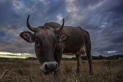 Portrait of curious cow Royalty Free Stock Photos