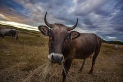 Portrait of curious cow Stock Photography