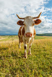Curious cow on the field Stock Photography